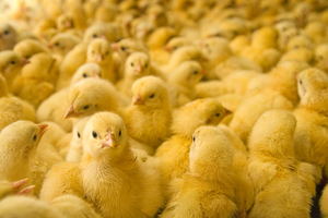 """<div class=""""bildtitel"""">In dem Betrieb werden rund 1,1 Millionen Eier pro Woche ausgebrütet. </div>"""